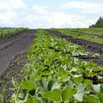 2012年7月26日・ホナミの畑のカボチャです。前日、秀さんにとって特別な場所になりました。