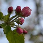 Obstblüte wunderschön bei gesamt 10 Obstbäumen