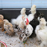 A colorful bunch of Seramas and silky bantams. In the front: Jumper, 87,5% Malaysian genetics, Jack the Ripper offspring by John...