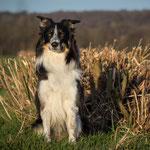 Hund 11 Wochen nach Arthrodese OP
