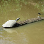 Tortuga (Schildkröte)