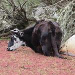 Eine Kuh in der Quebrada Santa Cruz