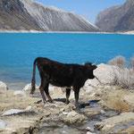 Kuh an der Laguna Paron