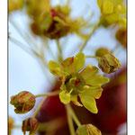 Macrophotographie, Fleur d'Erable