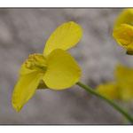 Macrophotographie, Fleur de colza