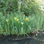Yellow iris or water flag
