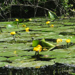 Yellow water-lily, or brandy-bottle