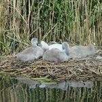 Young swans on the nest