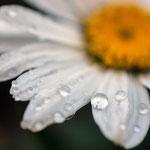 Margerite mit Regentropfen