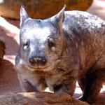 Wombat (captive Perth Zoo)
