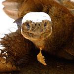 Galapagos Turtle  (captive Perth Zoo)