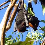 Fruit Bats at Katherine Gorge