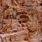 Rock Wallaby ... find it ...