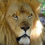 Lion (captive Perth Zoo)
