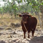 Bull at Lorella Springs