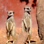 Meerkat (captive Perth Zoo)