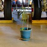 the lonlyest flowerpot in Darwin, Aviation Museum Darwin