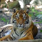 Sumatra Tiger (captive Perth Zoo)
