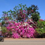 the Bike and the Bougainvillea