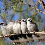 Black-faced Woodswallow