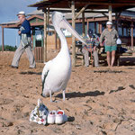 Pelican at Monkey Maya