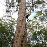 Gloucester Tree, 61m hoch