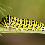 Schwalbenschwanz (Papilio machaon), erwachsene Raupe