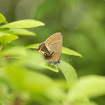 Pflaumen-Zipfelfalter (Satyrium pruni)
