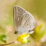 Zwerg-Bläuling (Cupido minimus)