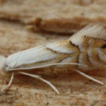 Phyllonorycter heegeriella