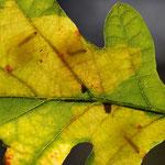 Tischeria ekebladella, Eichenblatt mit drei besetzten Minen im Gegenlicht