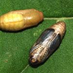 Hauhechel-Bläuling (Polyommatus icarus), Puppen