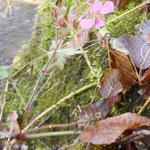 Storchschnabel-Blüte