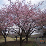 青葉の森公園 早咲き桜 河津桜(平成24年3月26日)