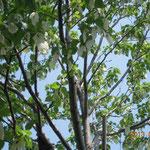 千葉市 青葉の森公園 ハンカチノキ 花 満開