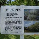 千葉市 青葉の森公園 なんじゃもんじゃの木の説明