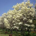 千葉市 青葉の森公園 なんじゃもんじゃの木 花 満開