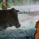 Mascotte et Vache ...