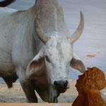 Mascotte en Inde ...à Varanasi