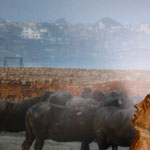 Mascoote et Buffalos ...