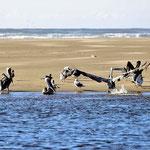 Pelikane sind Hartmuts Lieblingsvögel.