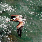 Ein Pelikan fliegt tief unter uns.