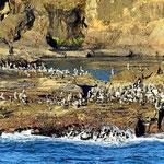Und wieder sind es hunderte von Pelikanen.