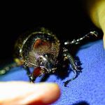 Nachtwanderung im Resort, einer der vielen Käfer.