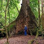 Zumindest einige der Urwaldbäume sind schon recht groß.