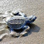 Kleine Schildkröten auf dem Weg ins Meer.
