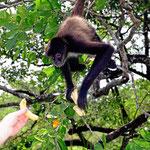 Kurze Pause bei einem Spidermonkey, die Banane lockt.