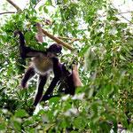 Ein Spider Monkey der Affenhorde. Im Gegenlicht sind sie sehr schwer aufzunehmen, wenn man keine Scherenschnittfigur haben will.