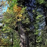 Einer der ganz großen Redwoods.
