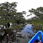 Überall Bauminseln, die man mit dem Boot umkurvt.